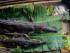 Buaya adalah salah satu ancaman hidup terbesar di Sungai Fly
