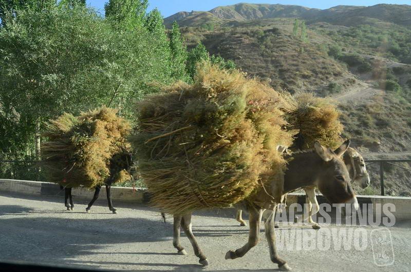 Keledai masih merupakan alat transportasi penting di Tajikistan.