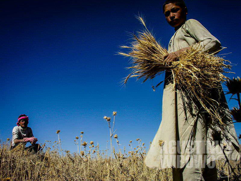 1.Panen di ladang (AGUSTINUS WIBOWO)