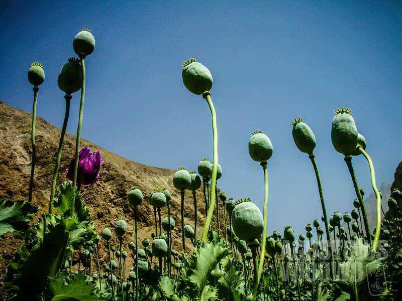5.Ladang opium yang menghampar indah (AGUSTINUS WIBOWO)