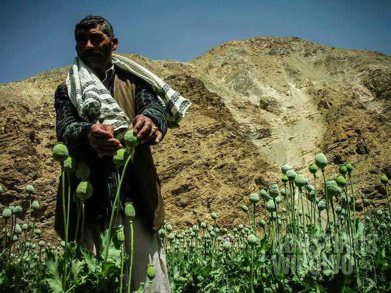 6.Beginilah caranya memanen opium (AGUSTINUS WIBOWO)