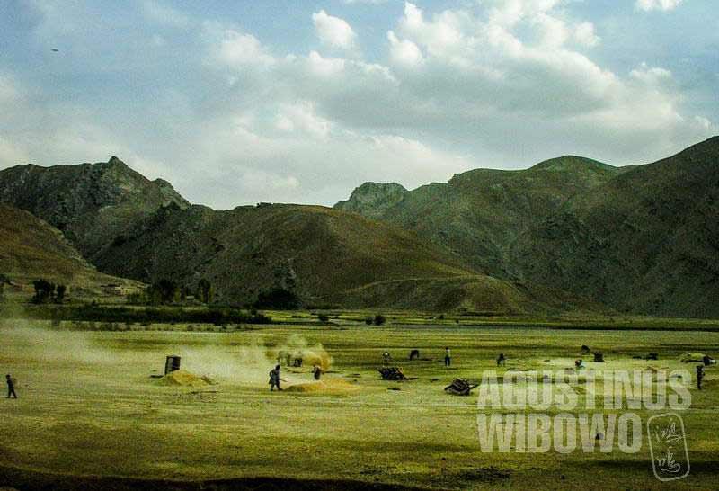 4.Sepanjang jalan, para petani sibuk memanen di ladang (AGUSTINUS WIBOWO)