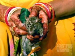 Memegang tikus suci ini dipercaya akan membawa keberuntungan (AGUSTINUS WIBOWO)