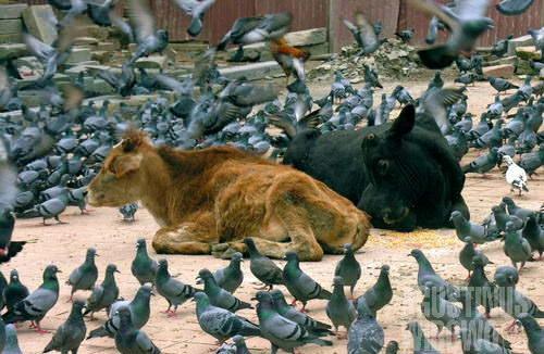 Sapi adalah hewan suci. (AGUSTINUS WIBOWO)