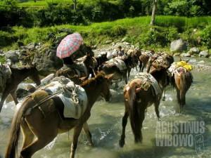 Barisan keledai melintas jalan yang tergenang sungai. (AGUSTINUS WIBOWO)