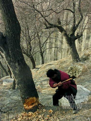 Menebang pohon untuk acara pesta (AGUSTINUS WIBOWO)
