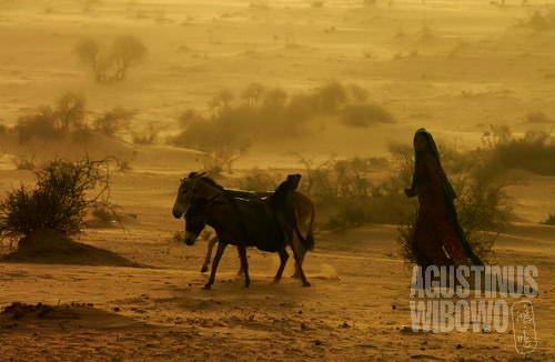 Keledai mengangkut air dari sumur (AGUSTINUS WIBOWO)